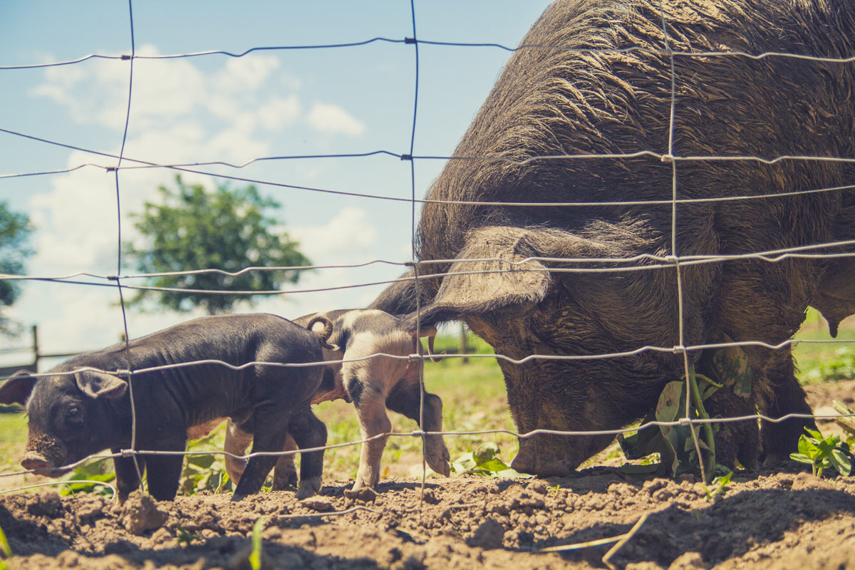 HERITAGE BREED PIGS