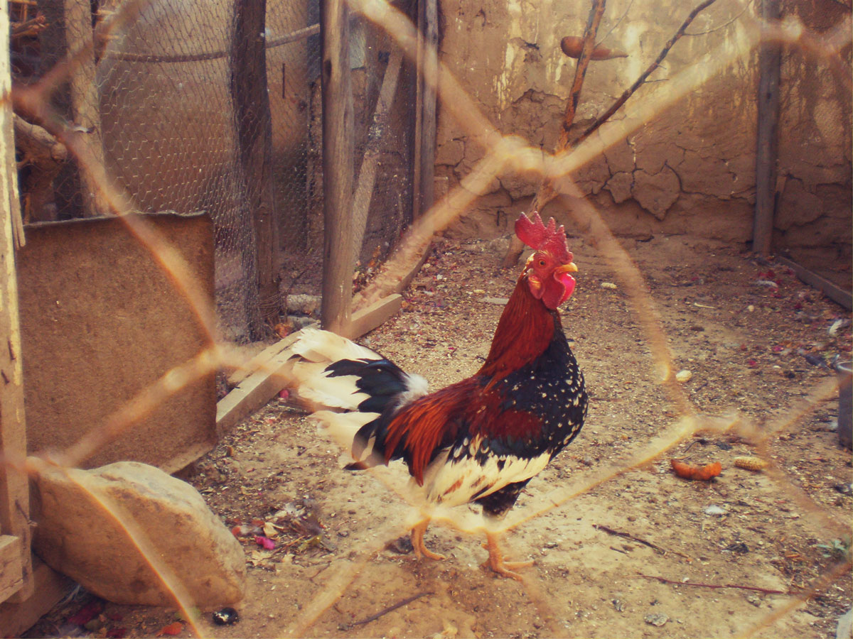 HERITAGE BREED FOWL & GAME BIRDS